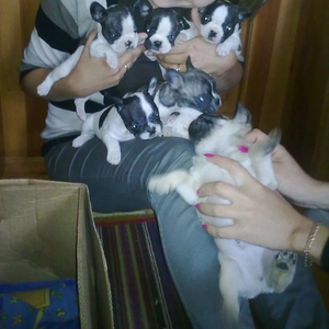 Продам оптом щенков французского бульдога