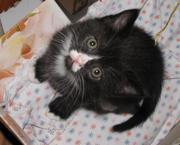 Британские короткошёрстные котята